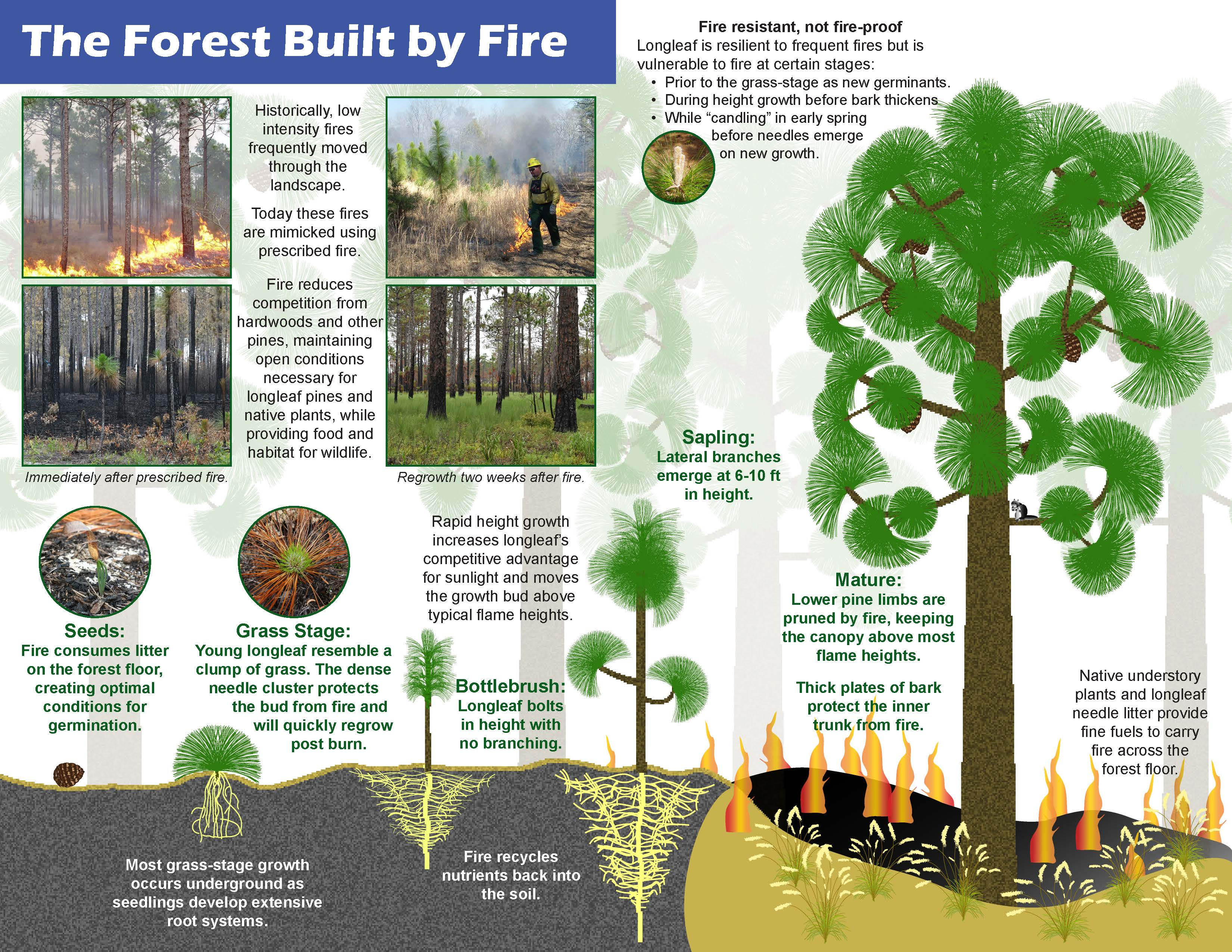 Prescribed Fire and Longleaf Infographic