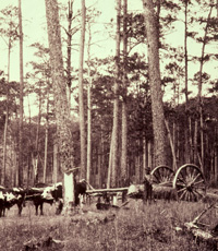 Loggers collecting naval stores in LL Forest with oxen