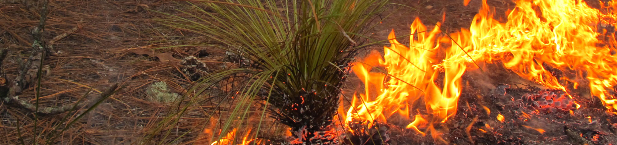 Fire in Longleaf Pine forest